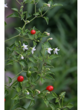 top-of-texas-bird-pepper-plant-with-foliage-flowers-and-fruit-lady-bird-johnson-wildflower-center-digital-library