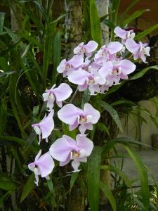 Moth orchid Phaelonopsis schilleriana, by Judgefloro